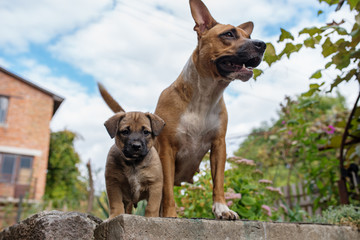 Strong and beautiful American staffordshire terrier and a puppy