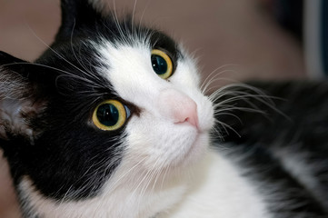 Young cat with big eyes