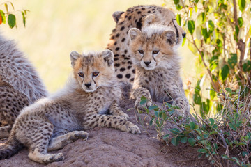 Curious Cheetah cubs resting in the shade with there mother
