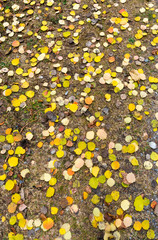 Wall Mural - background of yellow fall color foliage fallen leaves spread on the dirt ground of a hiking trail