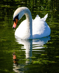 swan and reflection in a green lake at a stately home in England