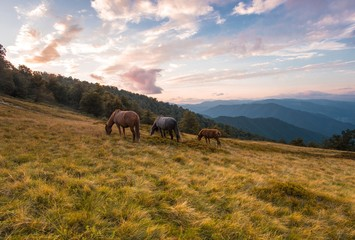 awesome nature scenery, horses on the meadow on background beech forest and far mountains, sunrise morning image, dramatic cloudy sky, Carpathians, Ukraine, European landscape