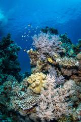 Bunte Weichkorallen an einem Riff in Ägypten