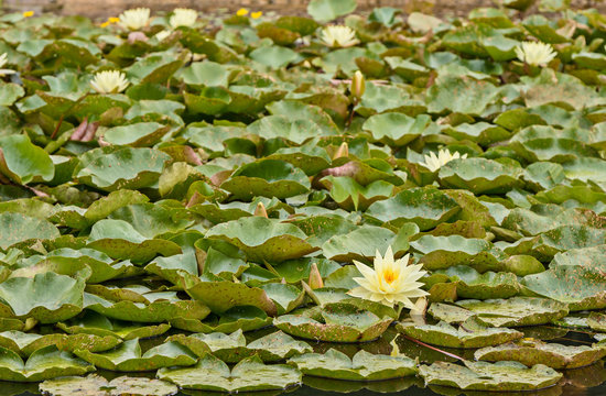 Nymphaea, green leaves of an aquatic plant attacked by a beetle of Galerucella nymphaea