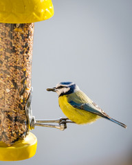 Blue tit taking a large seed from a bird-feeder