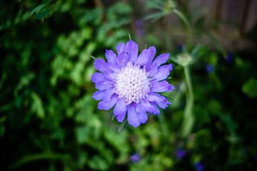 Purple round Flower