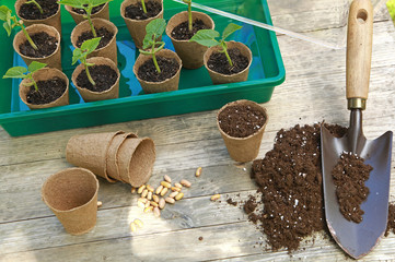 Fototapeta Semis de haricots dans des pots en tourbe obraz