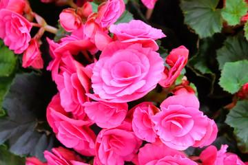 Bright pink tuberous begonia house flowering plant.