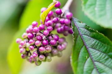 Chinesische Schönfrucht Liebesperlenstrauch Callicarpa giraldii
