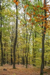 Autumn forest scenery with road of fall leaves.  Footpath in scene autumn forest nature.