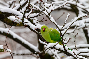 Rose-ringed parakeet, Green parrot on the branch in winter