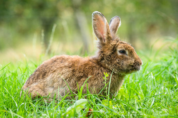 Brown easter bunny in fresh green grass