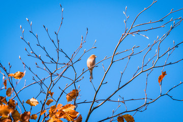 Single finch in a tree top in the fall