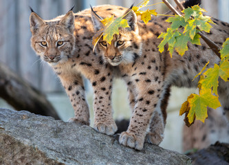 Spoed Fotobehang Lynx Eurasian lynx. Portrait of the couple of young Eurasian lynx cubs standing on the rock during autumn evening.