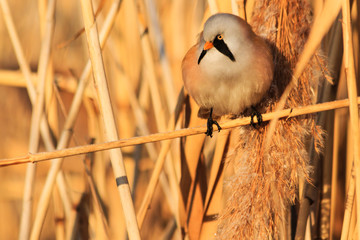 furry bird with a mustache sitting on a reed thickets