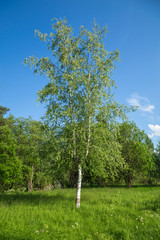 Young Russian beautiful birch in the meadow. A lonely tall tree stands away from a small forest. In the background is a blue sky with rare clouds.
