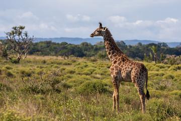 Giraffe 14