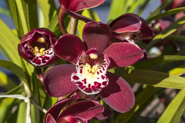 Garden Plant Flower Red Orchid Cymbidium or Boat Orchid