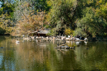 Pelicans are swimming in the lake at the zoo