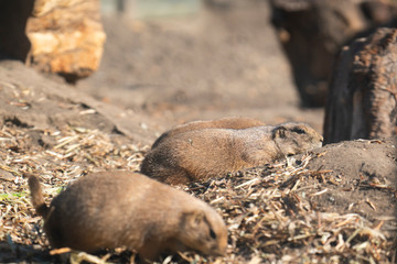 Couple of black-tailed prairie lying on the ground at the zoo