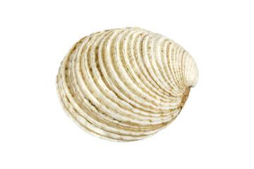 Grey seashell on white background