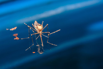 Adult mosquito over water - newborn insect diptera fly