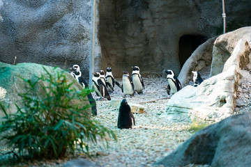 Penguins stay in group at the zoo