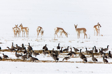 Pronghorn Antelope and Geese Wall mural