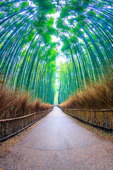 Bamboo forest  at Kyoto  landmark of Japan