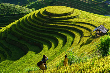 Garden Poster Rice fields Terraced rice field in harvest season in Mu Cang Chai, Vietnam. Mam Xoi popular travel destination.