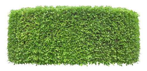 Trimmed green hedge wall isolated on white background for exterior and garden design