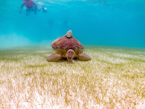 Green Sea Turtle Eats Grass with Remoras on Shell - Akumal, Mexico, Caribbean Sea