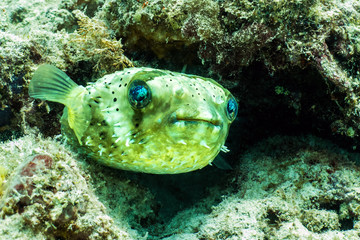 Porcupine Puffer Fish in Borneo