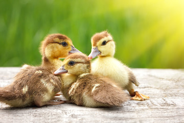 three little ducks, Pets, with soft sunlight and green grass