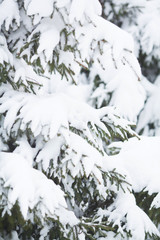 The branches of a Christmas tree in the snow