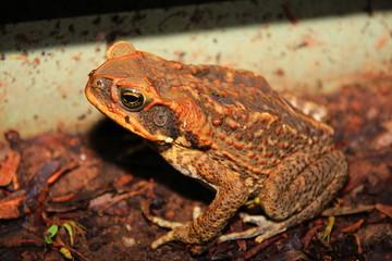 Cane toad in Australia