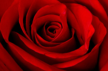 Macro shot of a fresh red rose.