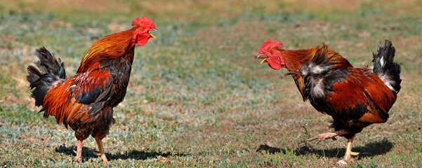 Roosters prepare for a fight.