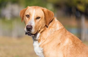 Adorable Labrador dog in the garden