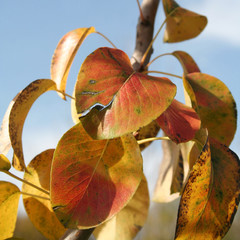 Williams Pear tree with yellow leaves in autumn. Detail of Pyrus communis in the orchard