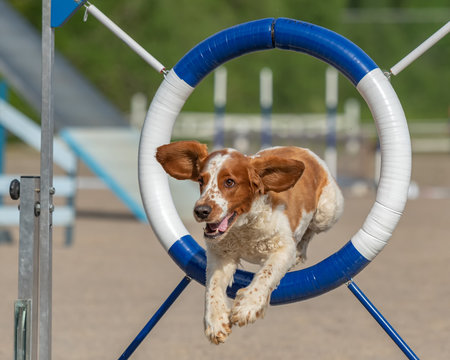 Welsh Springer Spaniel jumps through agility ring in agility competition