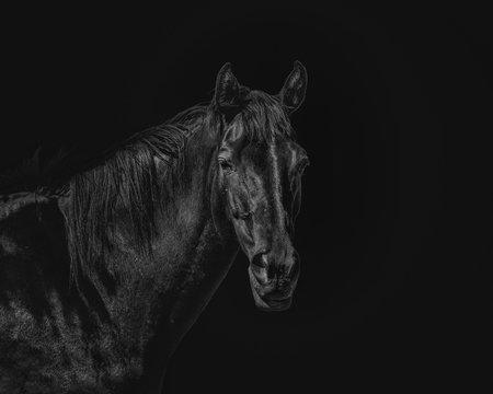 Portrait of a beautiful black stallion on a black background