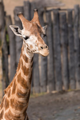 Giraffa camelopardalis - detail of head with neck.