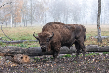 Deurstickers Bison European bison in a forest reserve in Lithuania