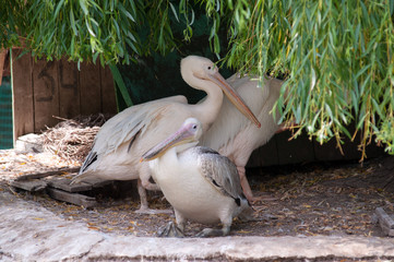 Three pelicans stand under a tree, a family of pelicans