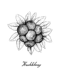 Berry Fruit, Illustration Hand Drawn Sketch of Huckleberries Isolated on White Background. High in Vitamin C and Minerals with Essential Nutrient for Life.