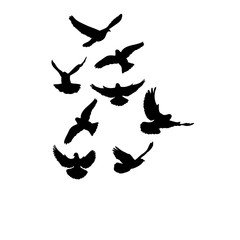 isolated silhouette of flying birds on white background