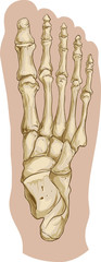 Vector illustration of a  medical foot bone anatomy
