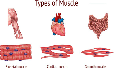 vector illustration of a Types of Muscle Fototapete