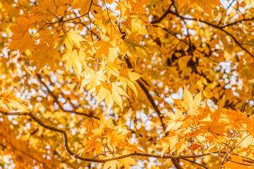 Deurstickers 鮮やかな紅葉の木